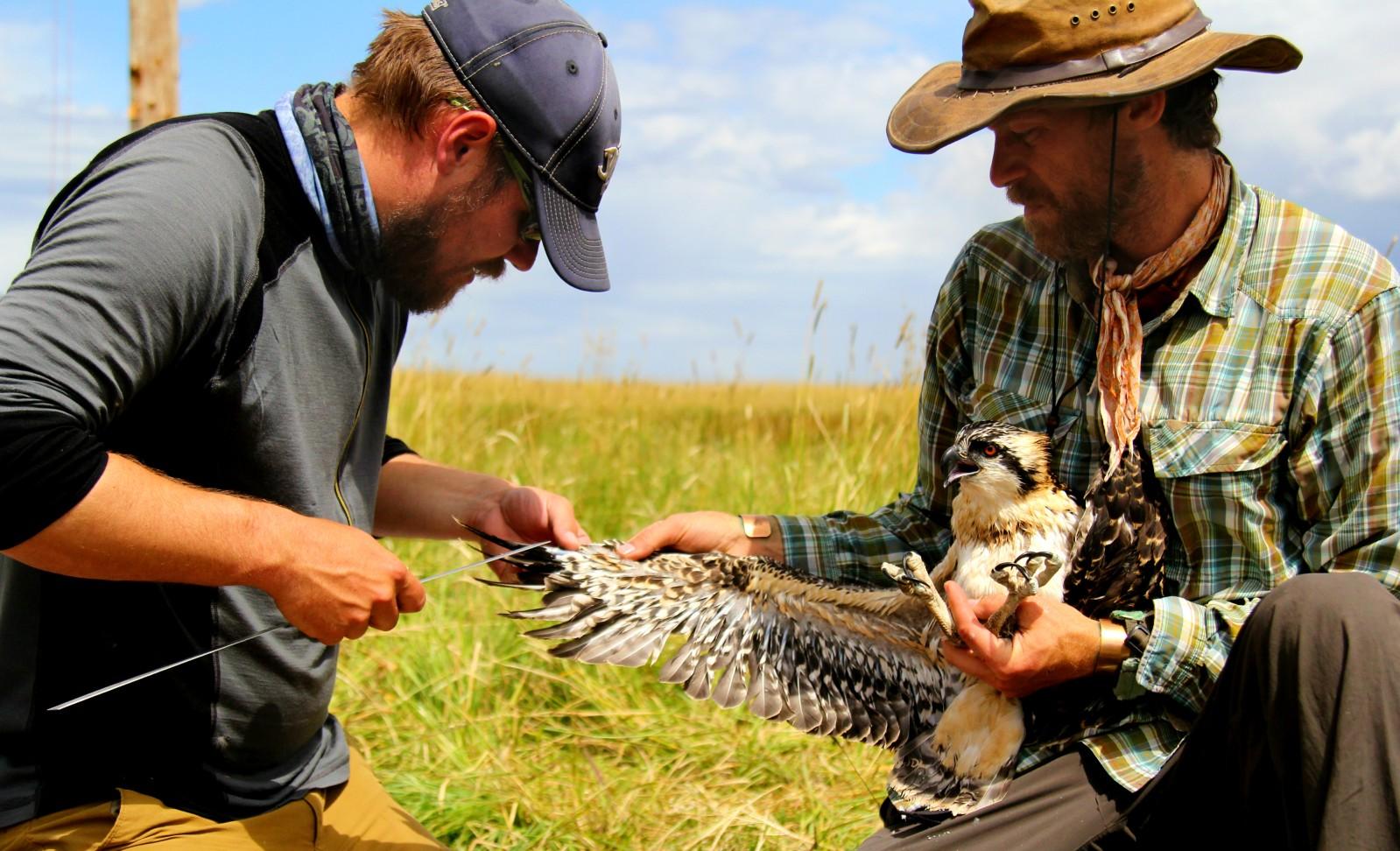 Osprey Research Project near Lake Cascade, Idaho